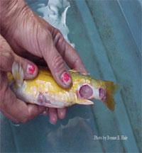 Anniston (USA): un pesce al PCB