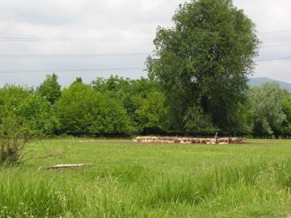 Pecore al pascolo nel sito Caffaro